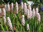 Photo Grape hyacinth, pink