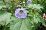 Photo Shoofly Plant, Apple of Peru, light blue