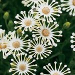 Photo African Daisy, Cape Daisy, white