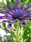 Photo African Daisy, Cape Daisy, purple