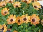 Photo African Daisy, Cape Daisy, orange