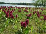 Photo Marsh Orchid, Spotted Orchid, burgundy