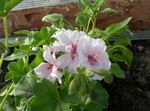Hooded-leaf Pelargonium, Tree Pelargonium, Wilde Malva