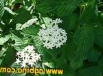 Photo Egyptian star flower, Egyptian Star Cluster, white
