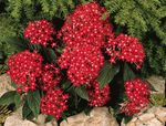 Photo Egyptian star flower, Egyptian Star Cluster, red