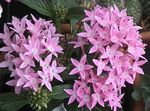 Photo Egyptian star flower, Egyptian Star Cluster, pink