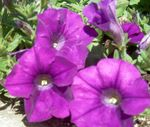 Photo Petunia, purple