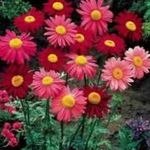Photo Painted Daisy, Golden Feather, Golden Feverfew, red