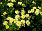 Photo Painted Daisy, Golden Feather, Golden Feverfew, yellow