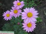 Photo Painted Daisy, Golden Feather, Golden Feverfew, lilac