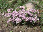 Photo Bog Rosemary, Common Bog Rosemary, Marsh Andromeda, pink