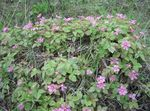 Photo Arctic Raspberry, Arctic Bramble, pink