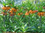 Crown Imperial Fritillaria