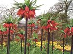 Photo Crown Imperial Fritillaria, red