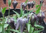 Photo Crown Imperial Fritillaria, black