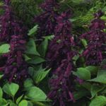 Photo Scarlet Sage, Scarlet Salvia, Red Sage, Red Salvia, purple