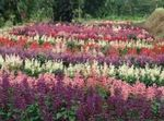 Photo Scarlet Sage, Scarlet Salvia, Red Sage, Red Salvia, pink