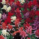 Photo Scarlet Sage, Scarlet Salvia, Red Sage, Red Salvia, burgundy