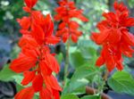 Photo Scarlet Sage, Scarlet Salvia, Red Sage, Red Salvia, red