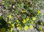 Photo Creeping Zinnia, Sanvitalia, yellow