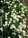 Photo Winged everlasting, white