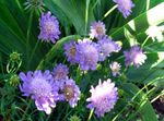Scabiosa, Pincushion Flower