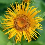 Telekia, Yellow Oxeye, Heartleaf Oxeye