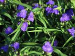 Virginia Spiderwort, Lady's Tears