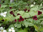 Photo Trillium, Wakerobin, Tri Flower, Birthroot, burgundy