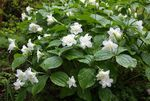 Photo Trillium, Wakerobin, Tri Flower, Birthroot, white