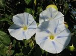 Photo Morning Glory, Blue Dawn Flower, white