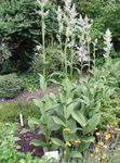 Photo False Hellebore, white