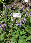 Photo Self-Heal, Selfheal, Heal All, lilac