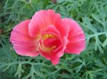 Photo California Poppy, pink