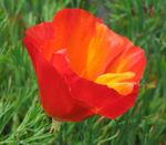Photo California Poppy, red