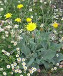 Yellow hawkweed, Fox and Cubs, Orange Hawkweed, Devil's Paintbrush, Grim-the-Collier, Red Daisy