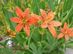 Photo Blackberry Lily, Leopard Lily, orange