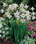 Photo Abyssinian Gladiolus, Peacock Orchid, Fragrant Gladiolus, Sword Lily, white