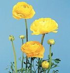 Ranunculus, Persian Buttercup,Turban Buttercup, Persian Crowfoot