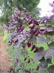 Ruby Glow Hyacinth Bean