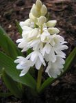Striped Squill, Snowdrift, Early Stardrift