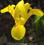 Photo Dutch Iris, Spanish Iris, yellow