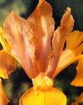 Photo Dutch Iris, Spanish Iris, orange