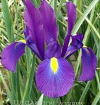 Photo Dutch Iris, Spanish Iris, purple