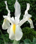 Photo Dutch Iris, Spanish Iris, white
