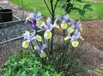 Photo Dutch Iris, Spanish Iris, light blue