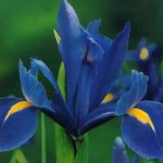 Photo Dutch Iris, Spanish Iris, blue