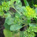 Photo Hare's Ear, Roundleaf Thorow Wax, Thoroughwax, green