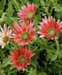 Photo Cape Daisy, Monarch of the Veldt, red