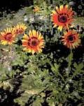 Photo Cape Daisy, Monarch of the Veldt, orange